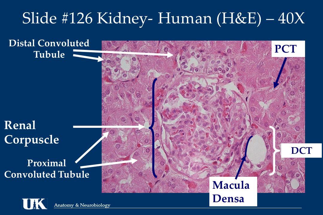 Anatomy & Neurobiology ANA 812 Urinary System: Kidney, Ureter ...
