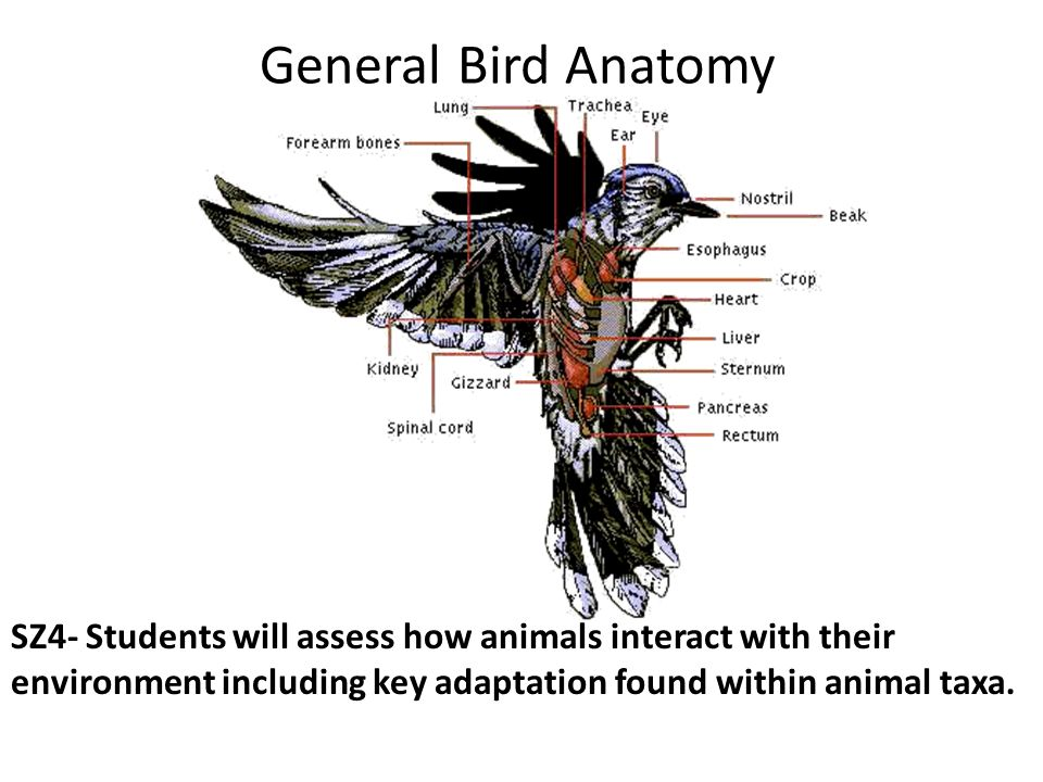 Evolution of Birds from Reptiles SZ2- Students will explain the ...