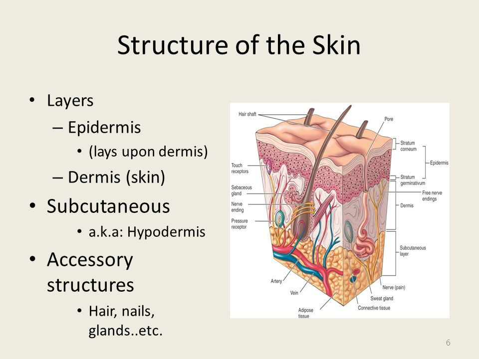 Ch apter 7: Skin and Appendages 1. Lesson 7-1 Objectives List six ...