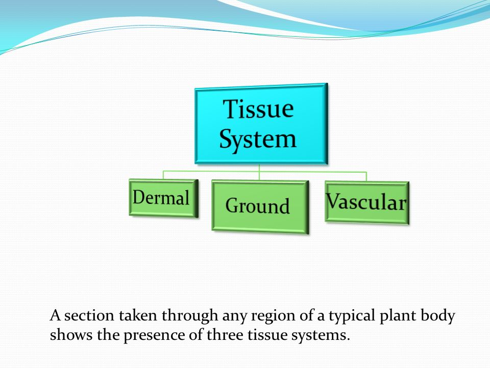 A section taken through any region of a typical plant body shows the presence of three tissue systems.