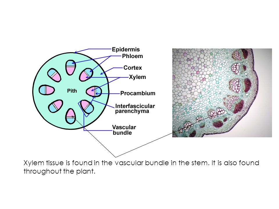 Xylem tissue is found in the vascular bundle in the stem. It is also found throughout the plant.
