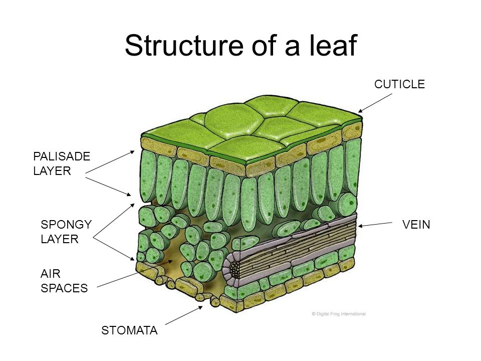 Structure of a leaf PALISADE LAYER SPONGY LAYER STOMATA CUTICLE VEIN AIR SPACES