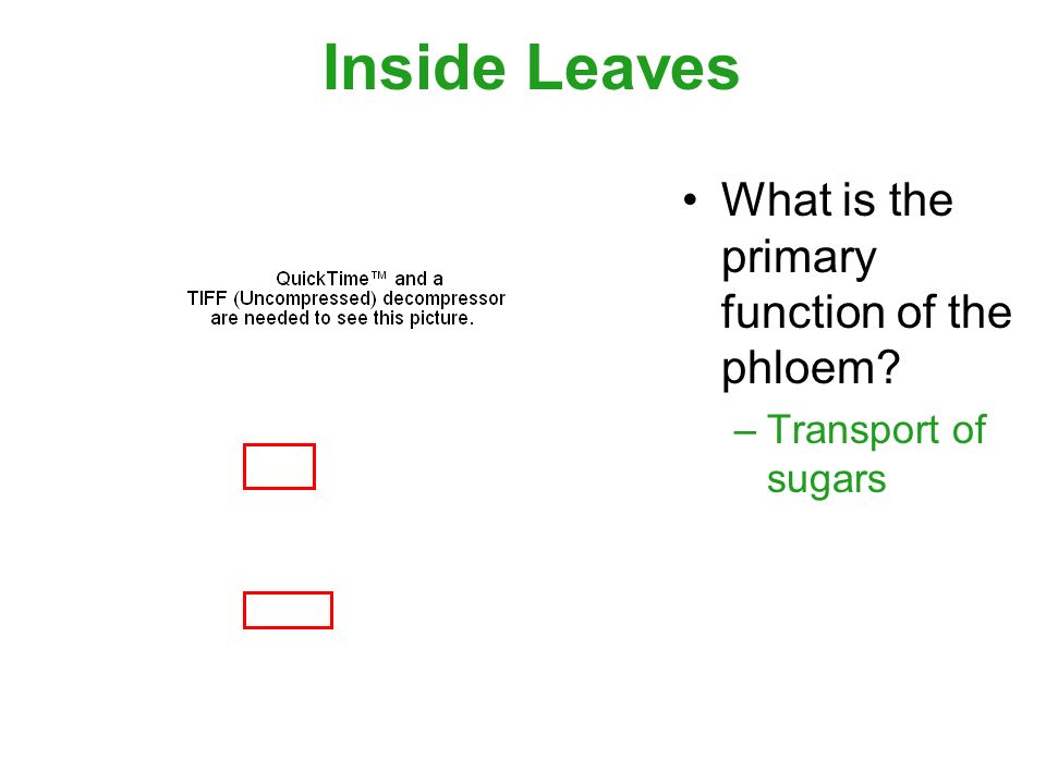 Inside Leaves What is the primary function of the phloem –Transport of sugars