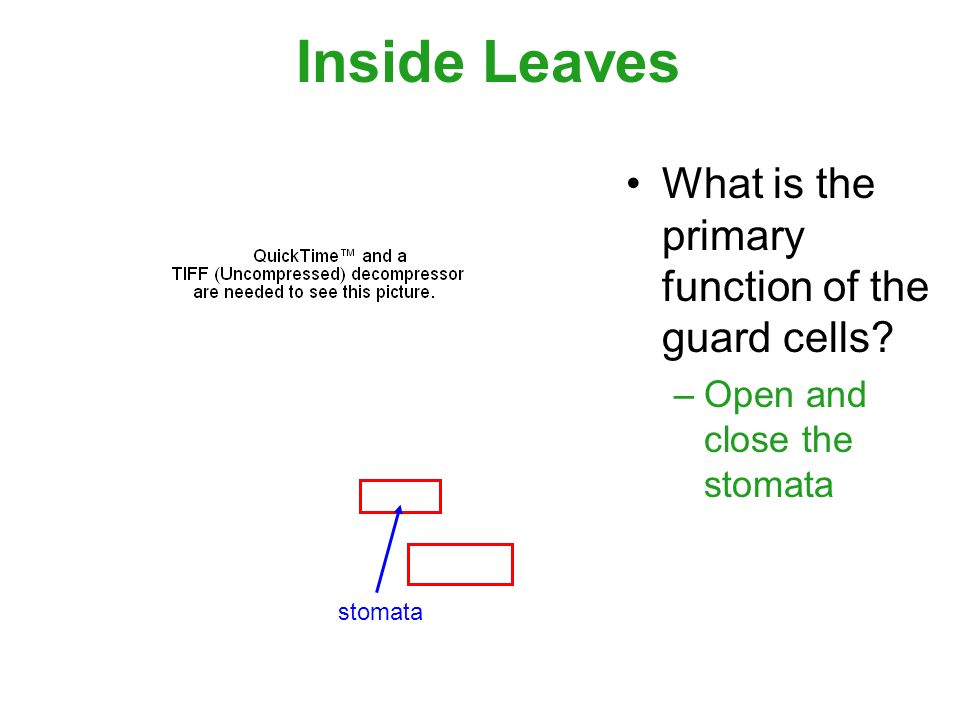Inside Leaves What is the primary function of the guard cells –Open and close the stomata stomata
