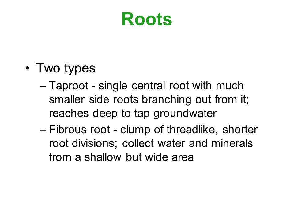 Roots Two types –Taproot - single central root with much smaller side roots branching out from it; reaches deep to tap groundwater –Fibrous root - clump of threadlike, shorter root divisions; collect water and minerals from a shallow but wide area