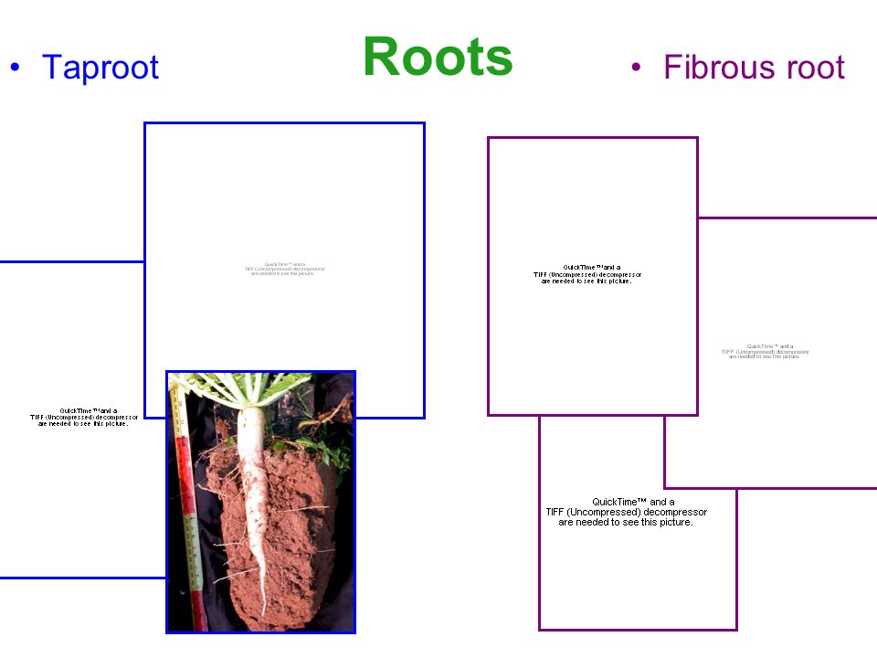 Roots TaprootFibrous root