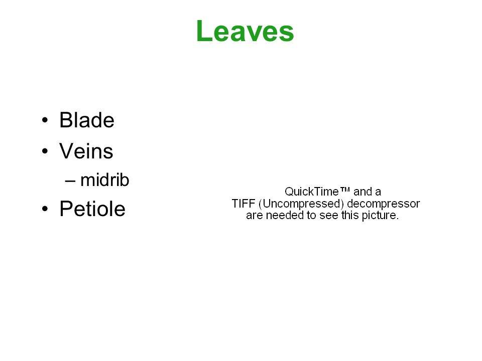 Leaves Blade Veins –midrib Petiole