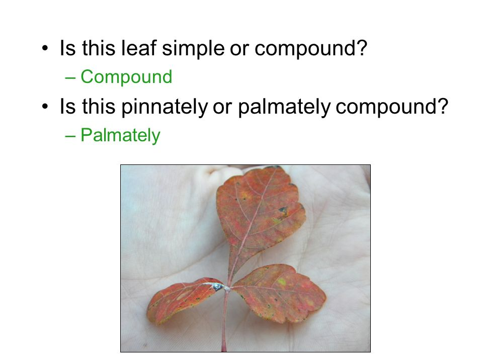 Is this leaf simple or compound –Compound Is this pinnately or palmately compound –Palmately