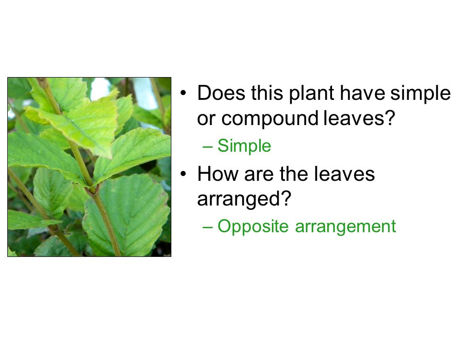 Does this plant have simple or compound leaves. –Simple How are the leaves arranged.