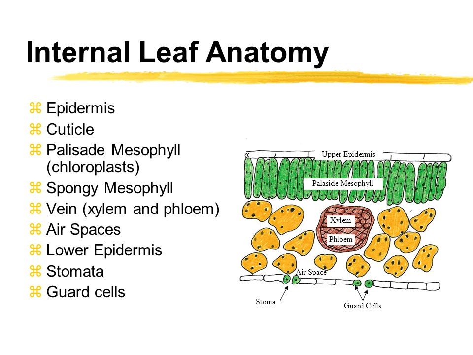 The Leaf of a Flowering Plant Factory of Photosynthesis. - ppt download