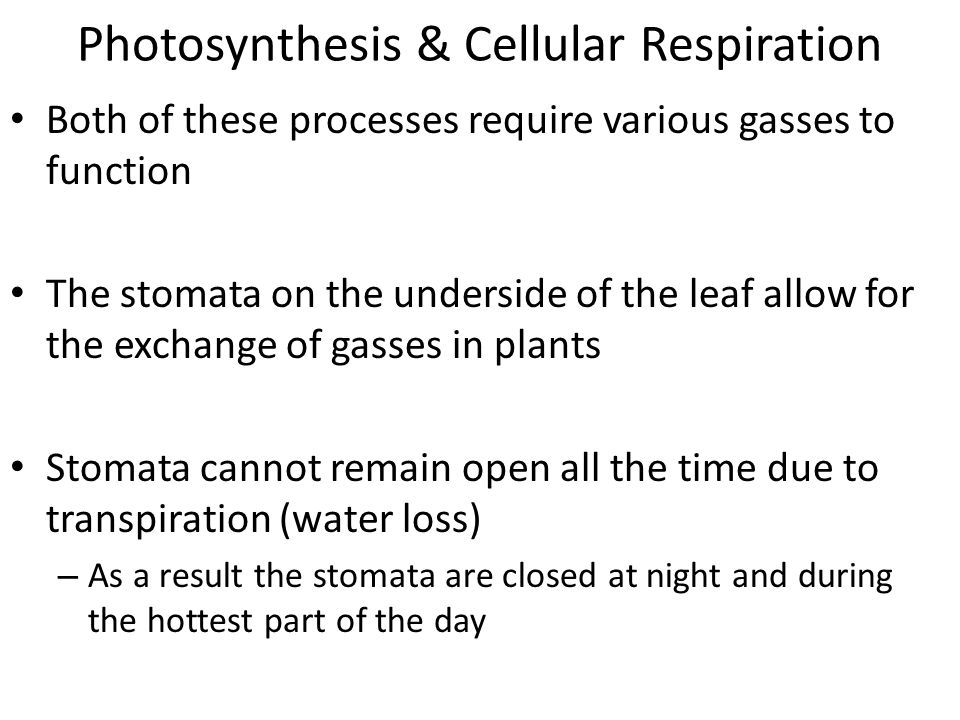 Photosynthesis & Cellular Respiration Both of these processes require various gasses to function The stomata on the underside of the leaf allow for the exchange of gasses in plants Stomata cannot remain open all the time due to transpiration (water loss) – As a result the stomata are closed at night and during the hottest part of the day