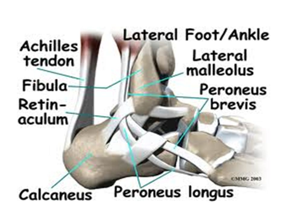 Sports Injury Management Foot Ankle Ankle Anatomy Tendon Of The