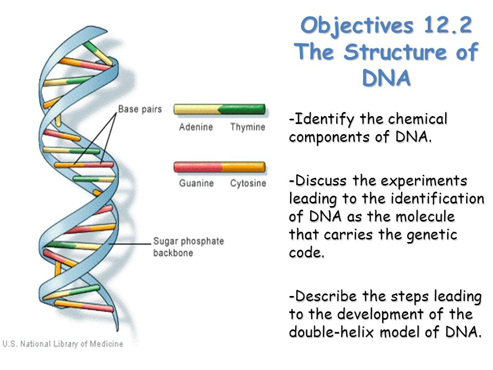 Objectives 122 the structure of dna identify the chemical objectives 122 the structure of dna identify the chemical components of dna ccuart Image collections