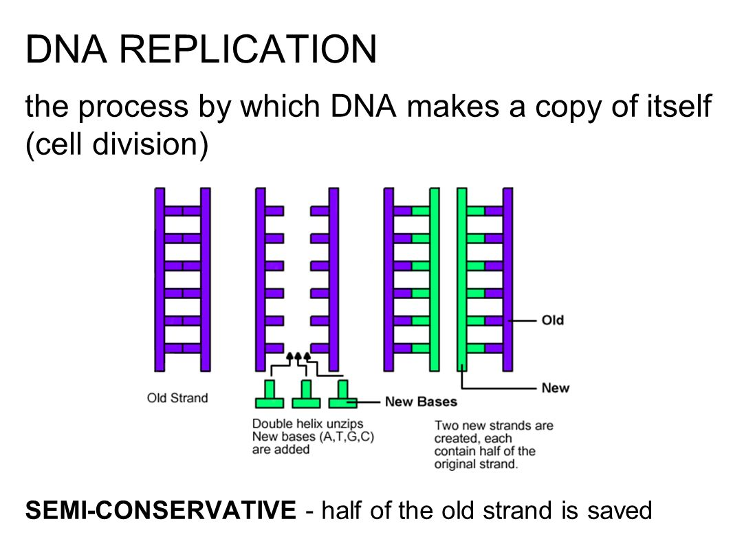Dna the blueprint of life dna stands for deoxyribonucleic acid 15 dna replication the process by which dna makes a copy of itself cell division semi conservative half of the old strand is saved malvernweather Images