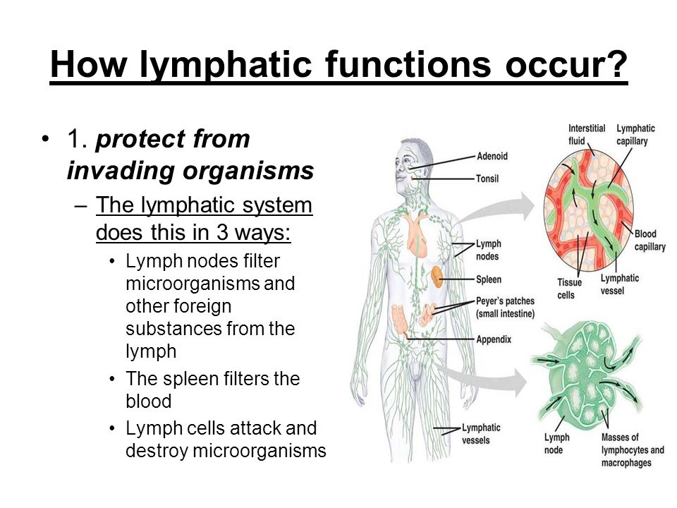 Lymphatic System Components Of Lymphatic System Lymph Watery