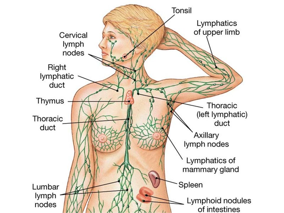 Lymphatic System and Immunity. Lymphatics outline Pathways Tissue ...