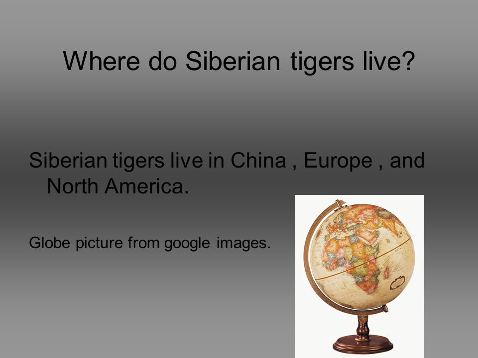 By Cody Coconate Siberian Tiger 12/10/08 Mrs.Hinshaw This ... Map Of Where Tigers Live In Europe on where do hippopotamus live, where do geckos live, bengal tiger live, where do snow petrels live, where do tigers live, asia where tigers live, where do kangaroos live, map of siberian tigers, map where tiger sharks live, map of tigers in asia, where the sumatran tigers live, countries where tigers live, how long do tigers live, where do most lions live, places tigers live, where does a tiger live, india where tigers live, where do most pandas live, where do piranhas live, map where bears live,