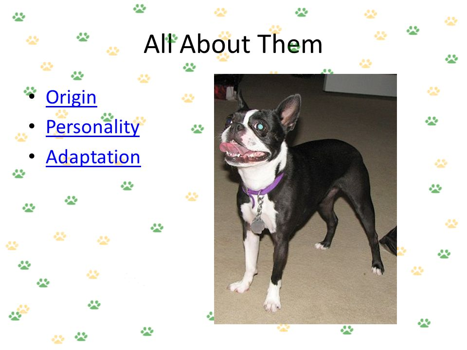 Boston Terriers!. All About Them Origin Personality Adaptation ...