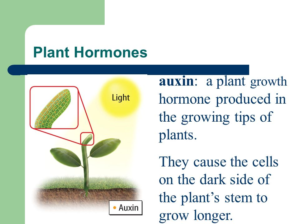 Plant Growth: Chemical Stimuli Hormones are one way a plant's growth is controlled.
