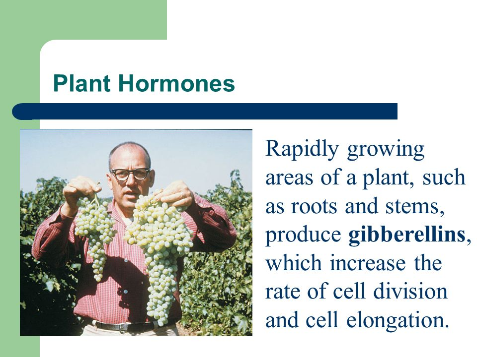 Plant Hormones The plant hormone ethylene helps stimulate the ripening of fruit.