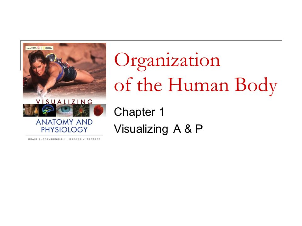 Organization of the Human Body Chapter 1 Visualizing A & P. - ppt ...