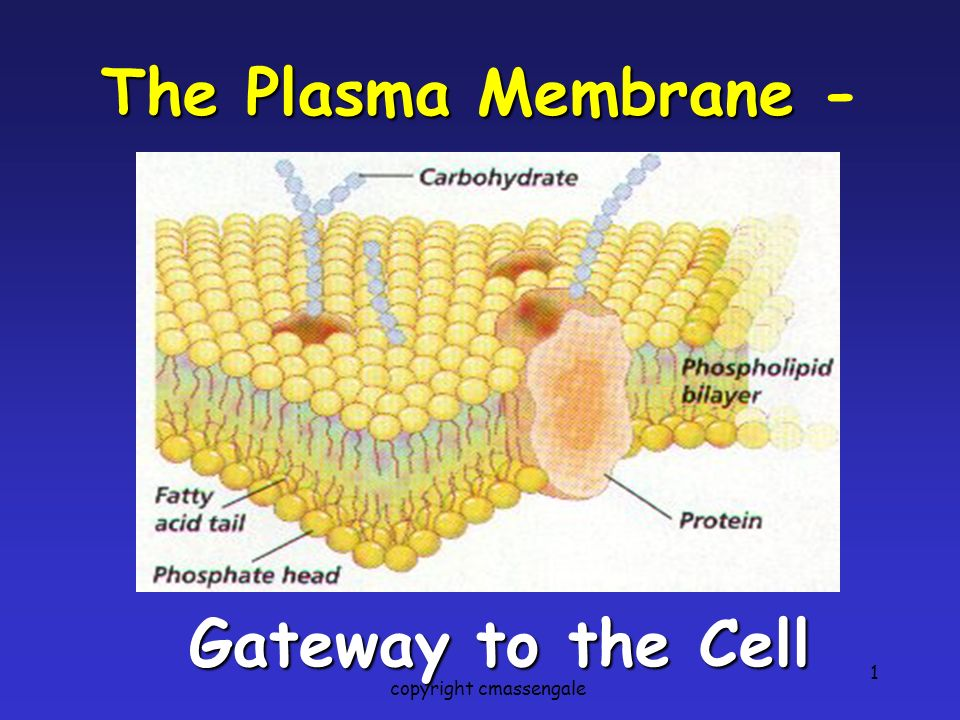 1 The Plasma Membrane The Plasma Membrane - Gateway to the Cell copyright cmassengale