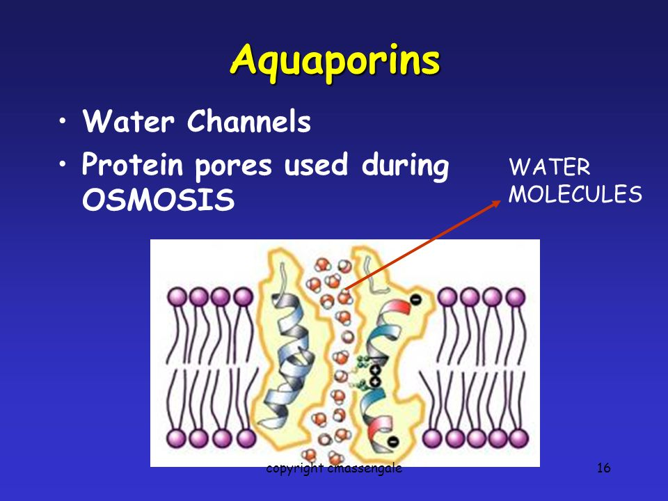 16 Aquaporins Water Channels Protein pores used during OSMOSIS WATER MOLECULES copyright cmassengale