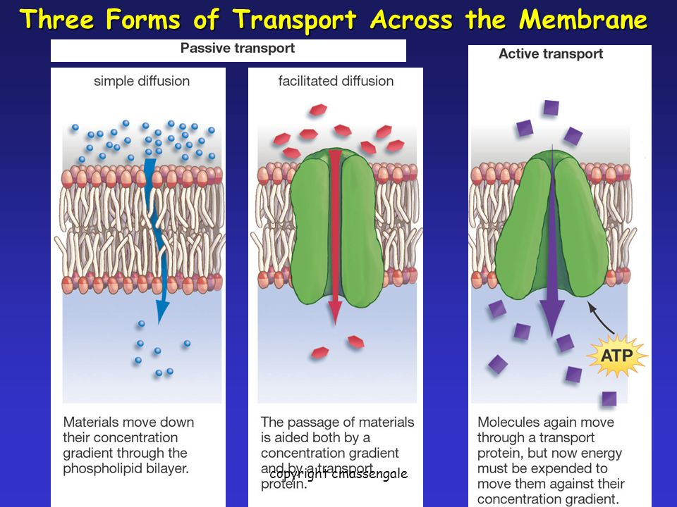 26 Three Forms of Transport Across the Membrane copyright cmassengale