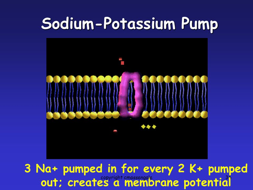 36 Sodium-Potassium Pump 3 Na+ pumped in for every 2 K+ pumped out; creates a membrane potential copyright cmassengale