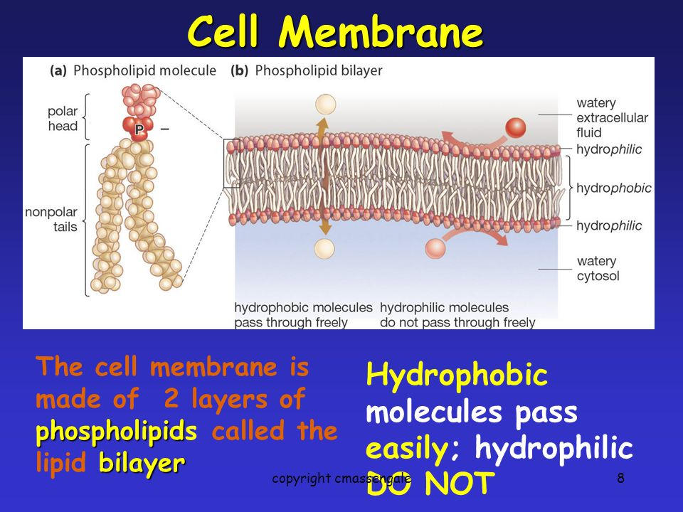 8 Cell Membrane Hydrophobic molecules pass easily; hydrophilic DO NOT phospholipid bilayer The cell membrane is made of 2 layers of phospholipids called the lipid bilayer copyright cmassengale