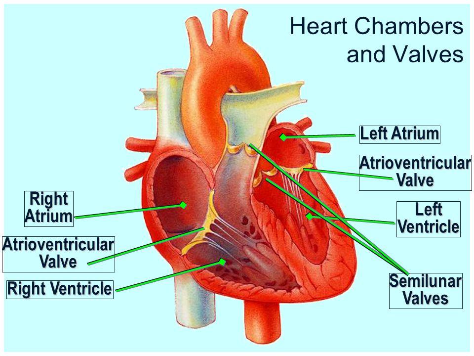 Cardiovascular System Organs And Cellsorgans And Cells Organization