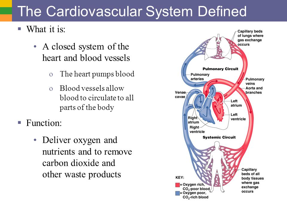 the cardiovascular system the heart Blood vessels within the body form a closed delivery system that begins and ends at the heart the idea of blood circulating through the body isn't a new one the idea of blood circulating through the body isn't a new one.