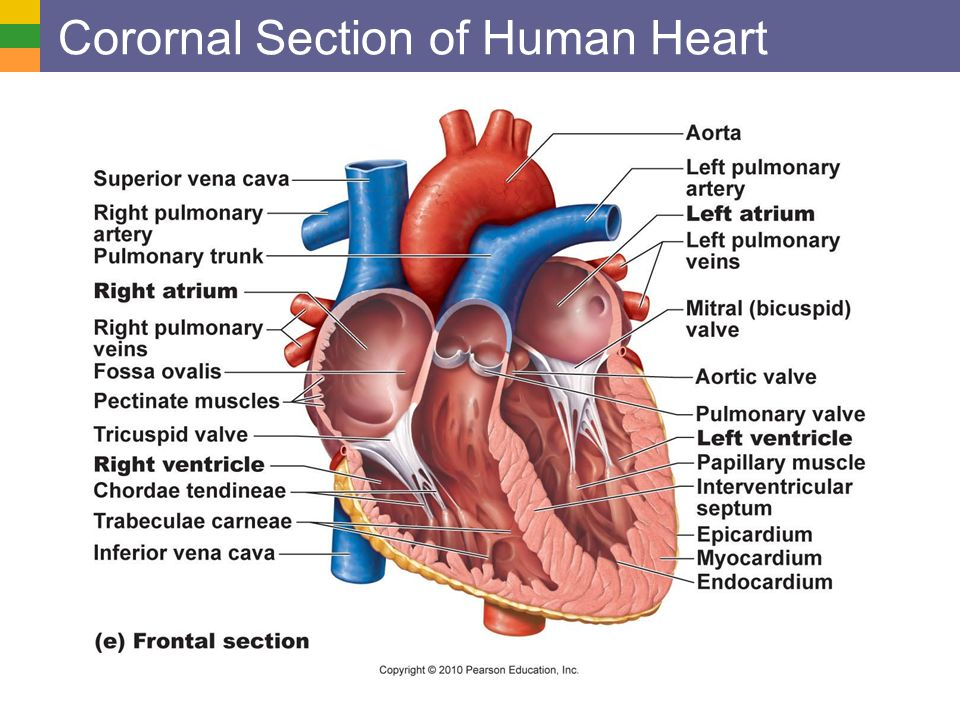Cardiovascular System I Heart Anatomy And Physiology