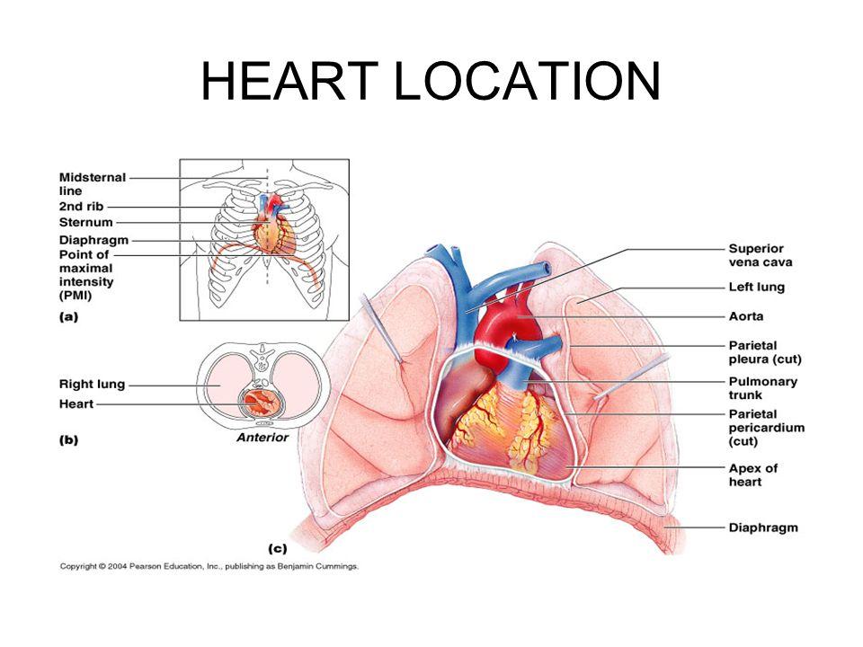 The cardiovascular system the heart heart location size location 3 heart location ccuart Choice Image