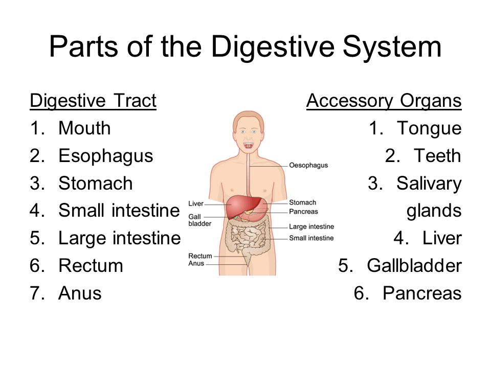 The Digestive System The Functions Of The Digestive System 1