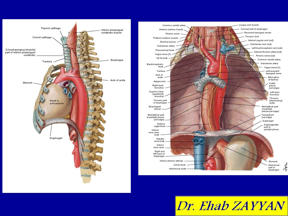 Trachea And Esophagus Ehab Zayyan Md Phd Ppt Video Online Download