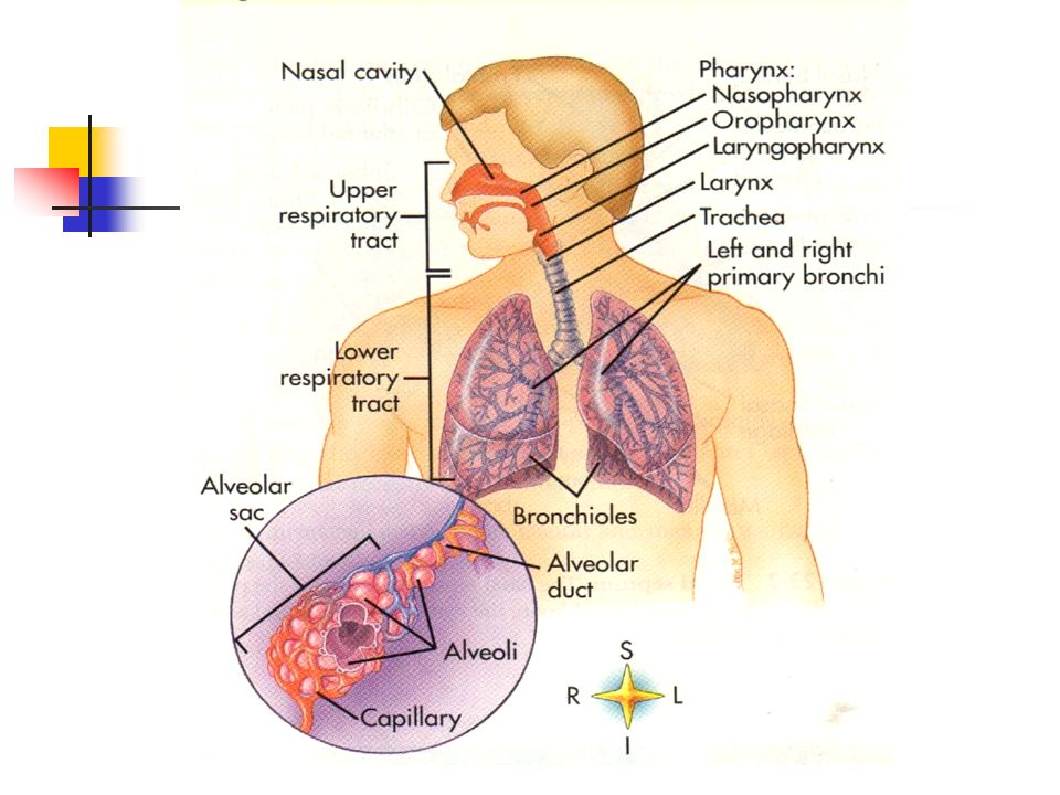 Biomechanics of breathing. Lungs ventilation - ppt video online download