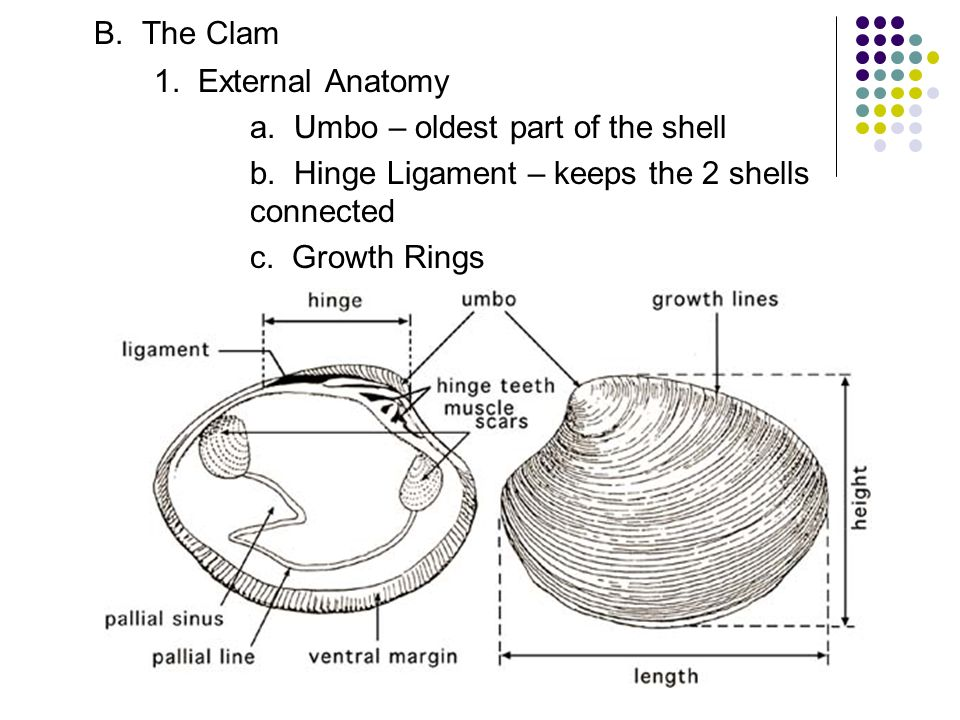 Clam Diagram For Teachers - Complete Wiring Diagrams •