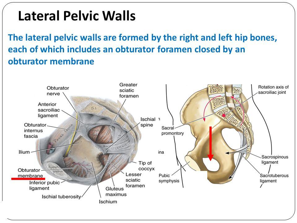 Clinical Anatomy of Pelvic Peritoneum and Fascia Associate Professor ...
