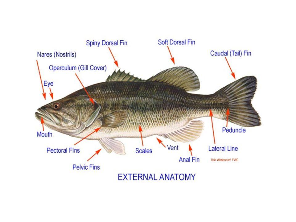 Ichthyology Fish Study Kingdom Animalia Phylum Chordata