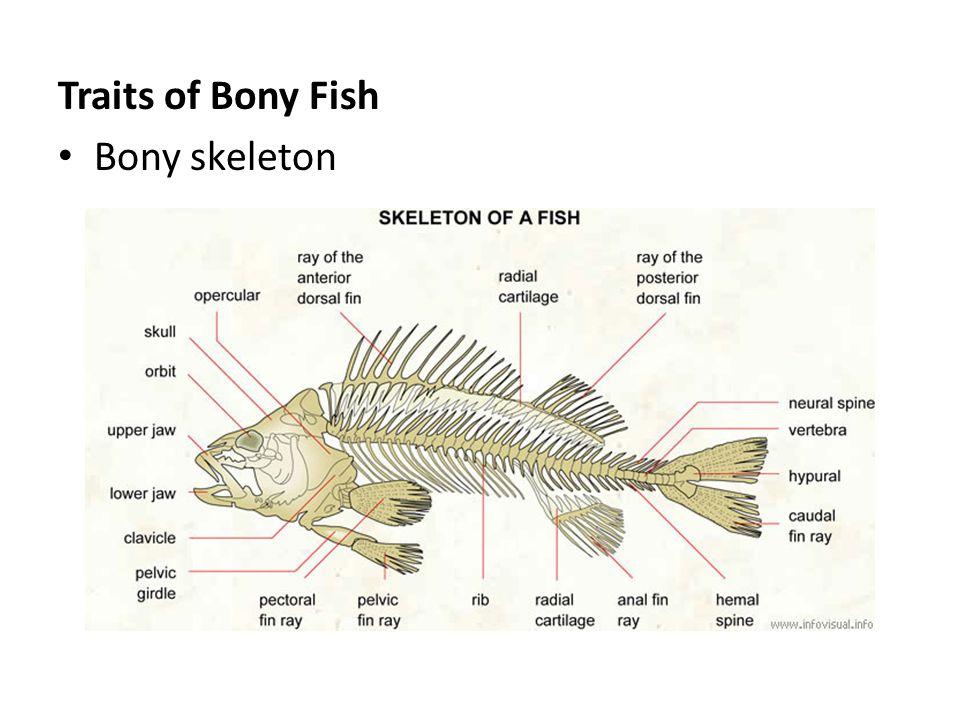 """Ichthyology – """"fish study"""" Kingdom: Animalia Phylum: Chordata ..."""