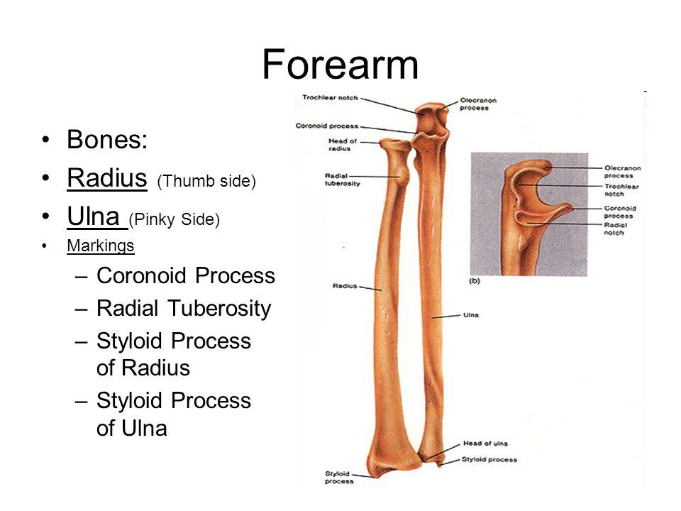 7 forearm bones: radius (thumb side) ulna (pinky side) markings –coronoid  process –radial tuberosity –styloid process of radius –styloid process of  ulna