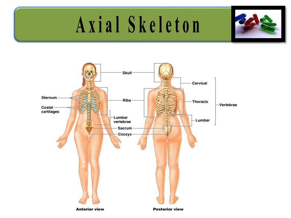 Bms 231 20152016 Skeletal System Lecturer Dr Aqeela Bano Ppt