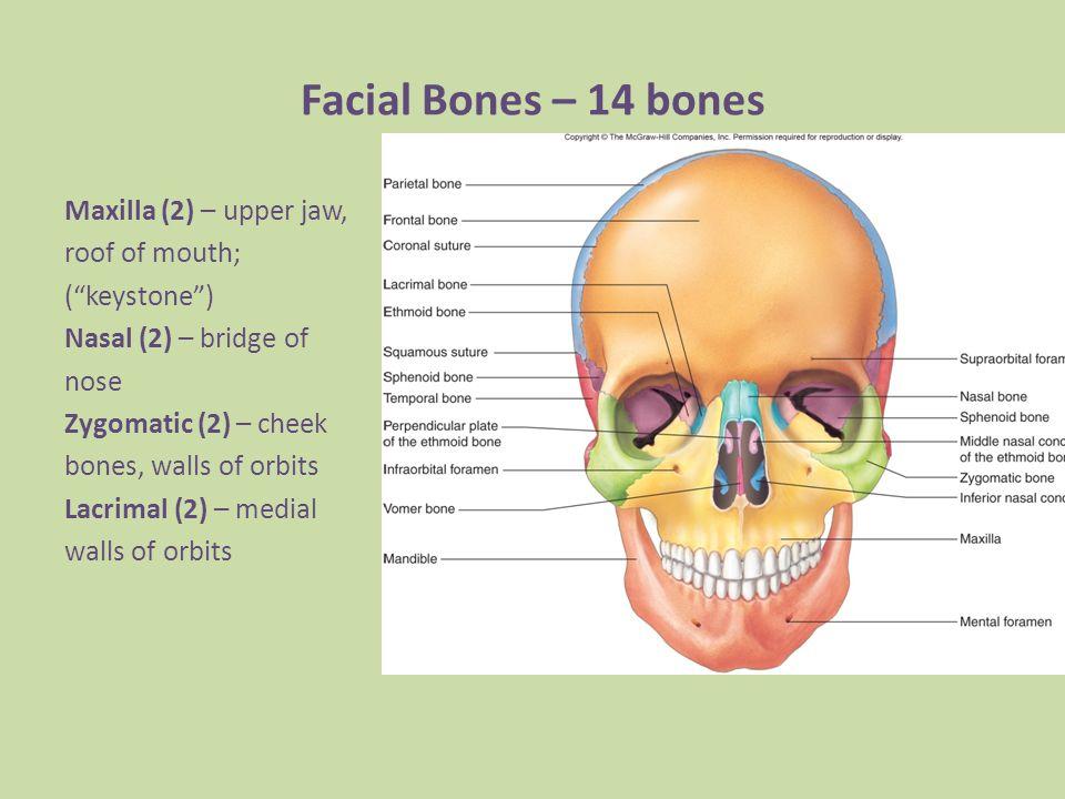 Human Skull Human Skull 22 Bones 2 Parts 1anium 8 Bones