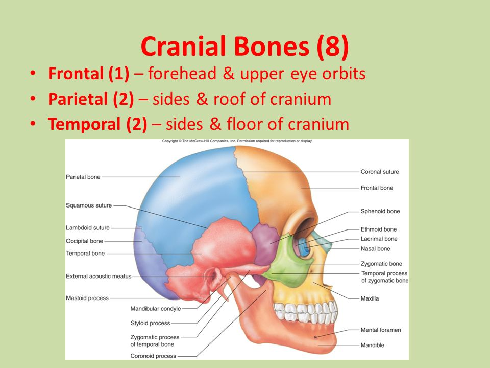 3 cranial bones (8) frontal (1) – forehead & upper eye orbits parietal (2)  – sides & roof of cranium temporal (2) – sides & floor of cranium