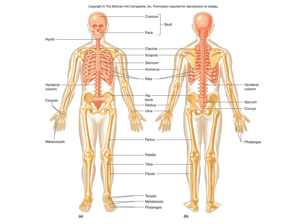 The Skeletal System Parts Of The Skeletal System Bones