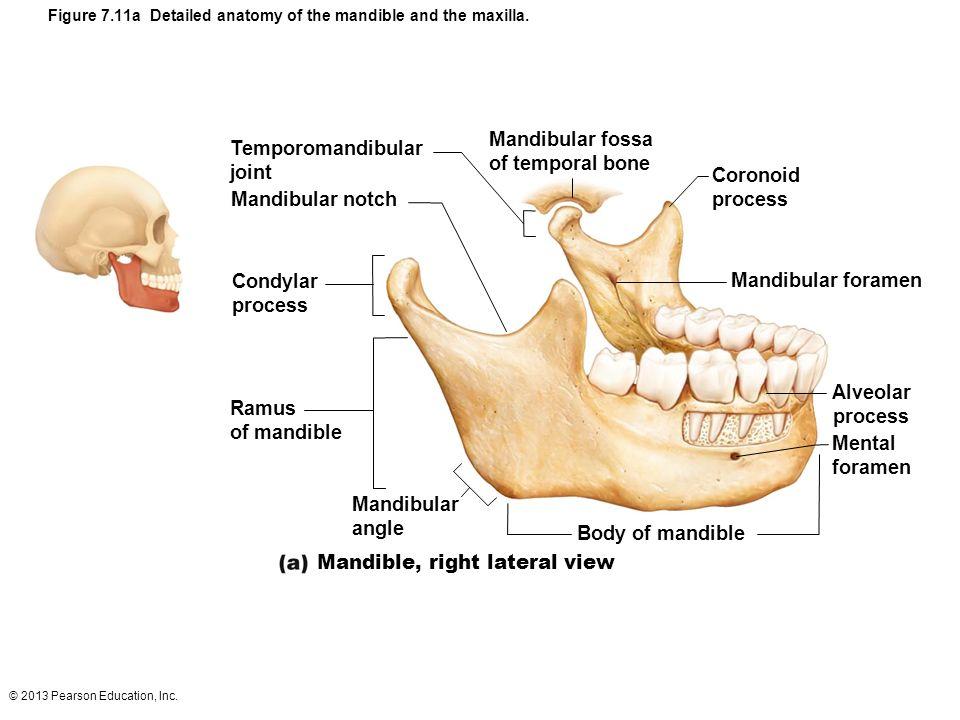 2013 Pearson Education Inc Skeletal System Composed Of Bones