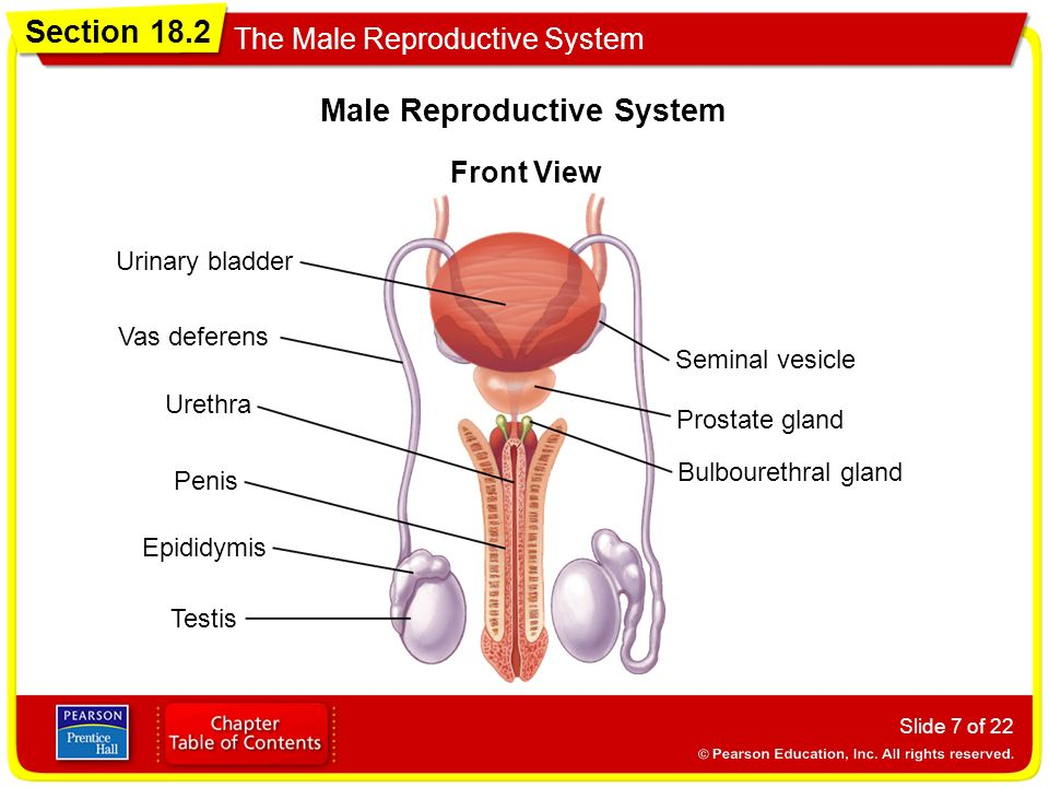 Section 182 The Male Reproductive System Slide 1 Of 22 Structure