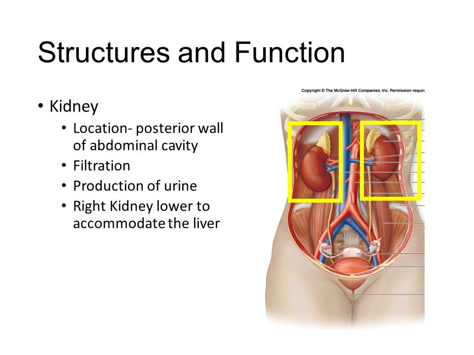 The Urinary System Lt I Can Identify The Different Parts Of The