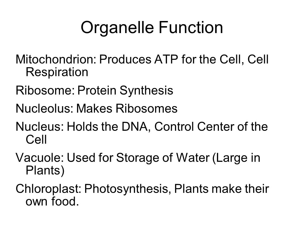 Organelle Function Mitochondrion: Produces ATP for the Cell, Cell Respiration Ribosome: Protein Synthesis Nucleolus: Makes Ribosomes Nucleus: Holds the DNA, Control Center of the Cell Vacuole: Used for Storage of Water (Large in Plants) Chloroplast: Photosynthesis, Plants make their own food.